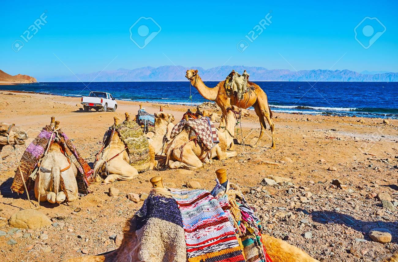 The camel tour along the desert coast of Aqaba gulf is popular