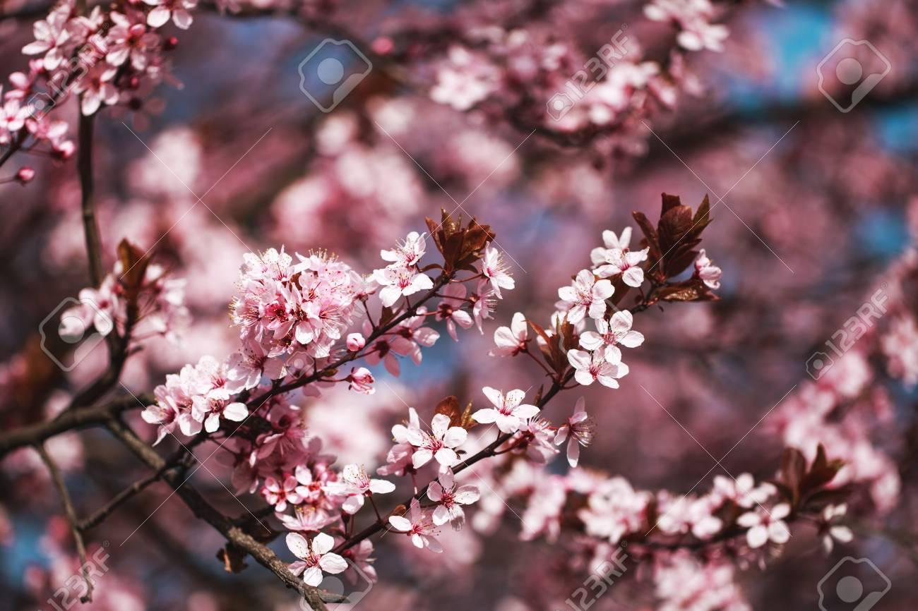 Carta Da Parati Fiori Di Ciliegio : Bellissimi rami di fiori di ciliegi rosa nel cielo blu puro posto
