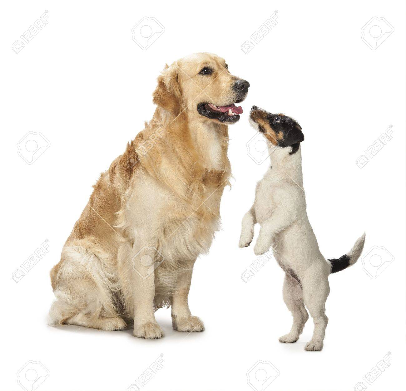 Russell Background Golden Jack Terrier On A White Retriever And gf6Yb7y