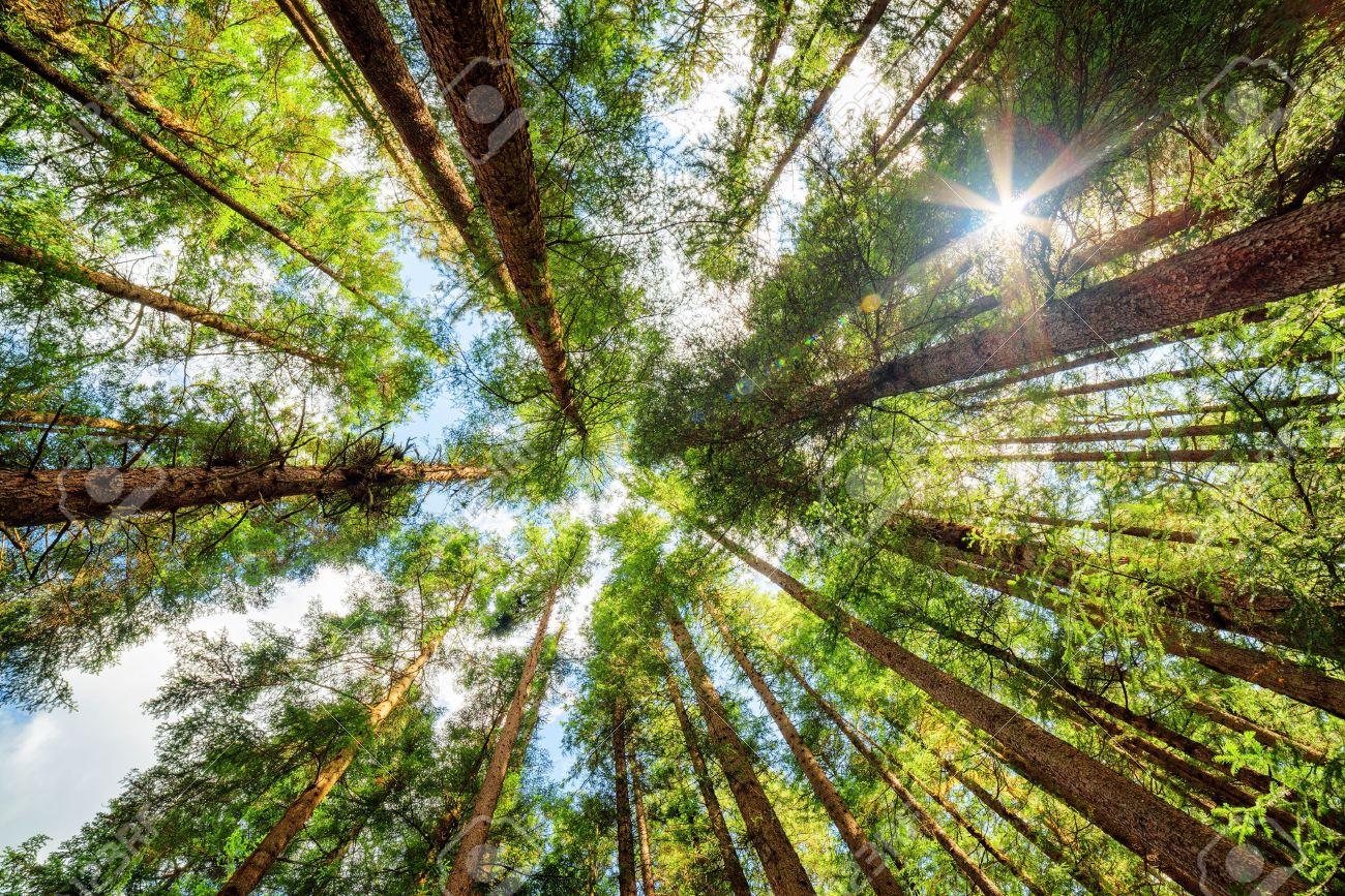 vue de dessous de vieux grands arbres dans la forêt vierge à