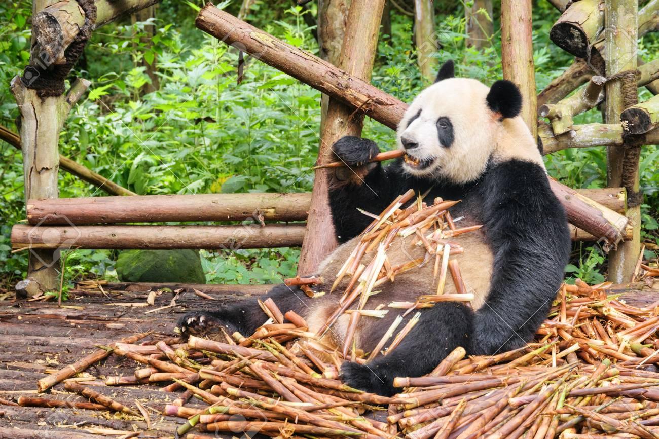 108107177-cute-funny-giant-panda-eating-