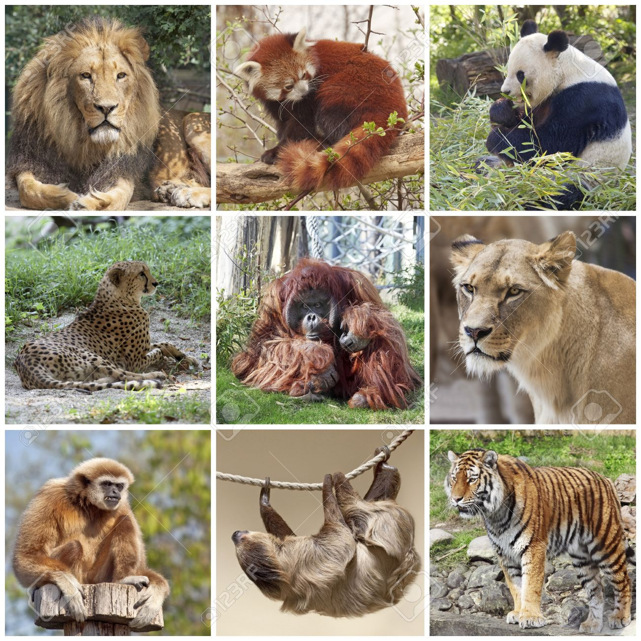 animals collage with lion, red panda, panda, cheetah, tiger,.. stock