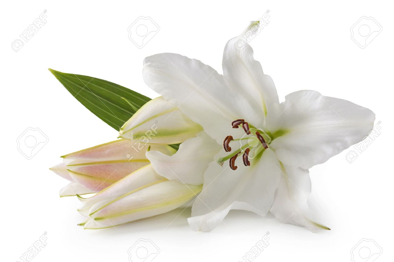 White lily stock photos royalty free white lily images white lily flowers isolated on white background stock photo izmirmasajfo
