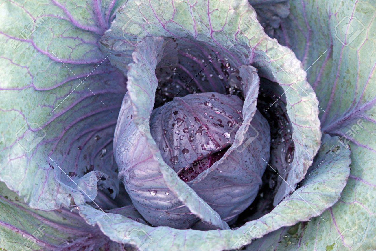 Homegrown Green And Purple Cabbage In The Garden Stock Photo Picture And Royalty Free Image Image 19146988