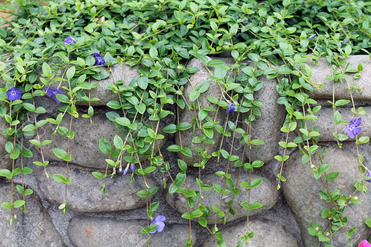 Climbing Vine With Purple Flowers On A Rock Wall Stock Photo