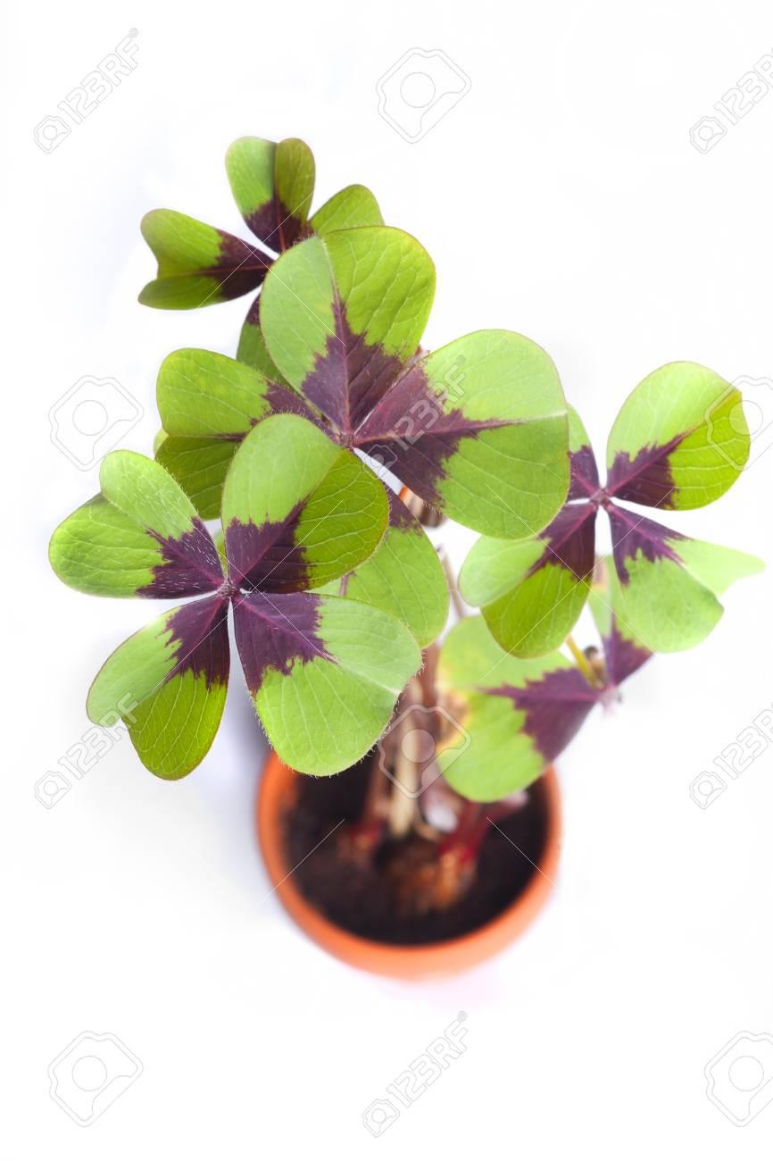 Four leaf clover Stock Photo - 18073383