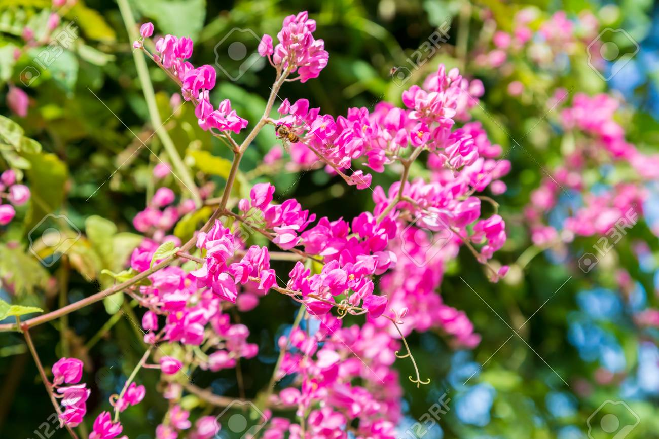 Bunches of lilac pink flowers on tropical vine with green leaves bunches of lilac pink flowers on tropical vine with green leaves and bees stock photo mightylinksfo