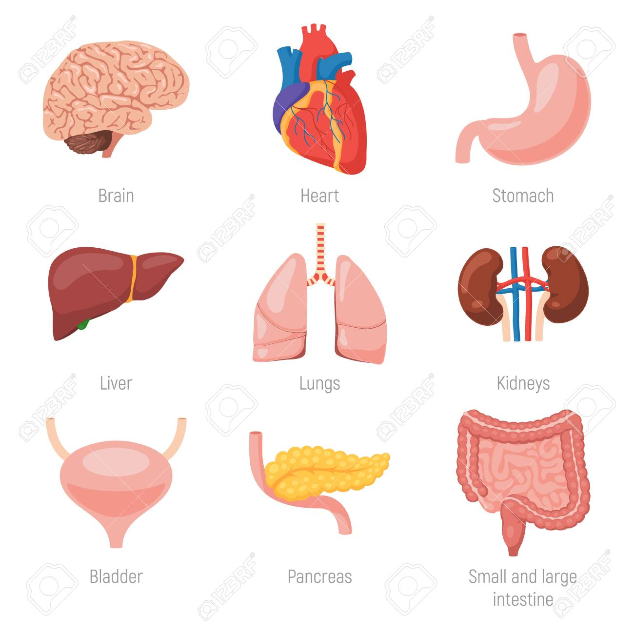 Human Internal Organs Royalty Free Cliparts Vectors And Stock