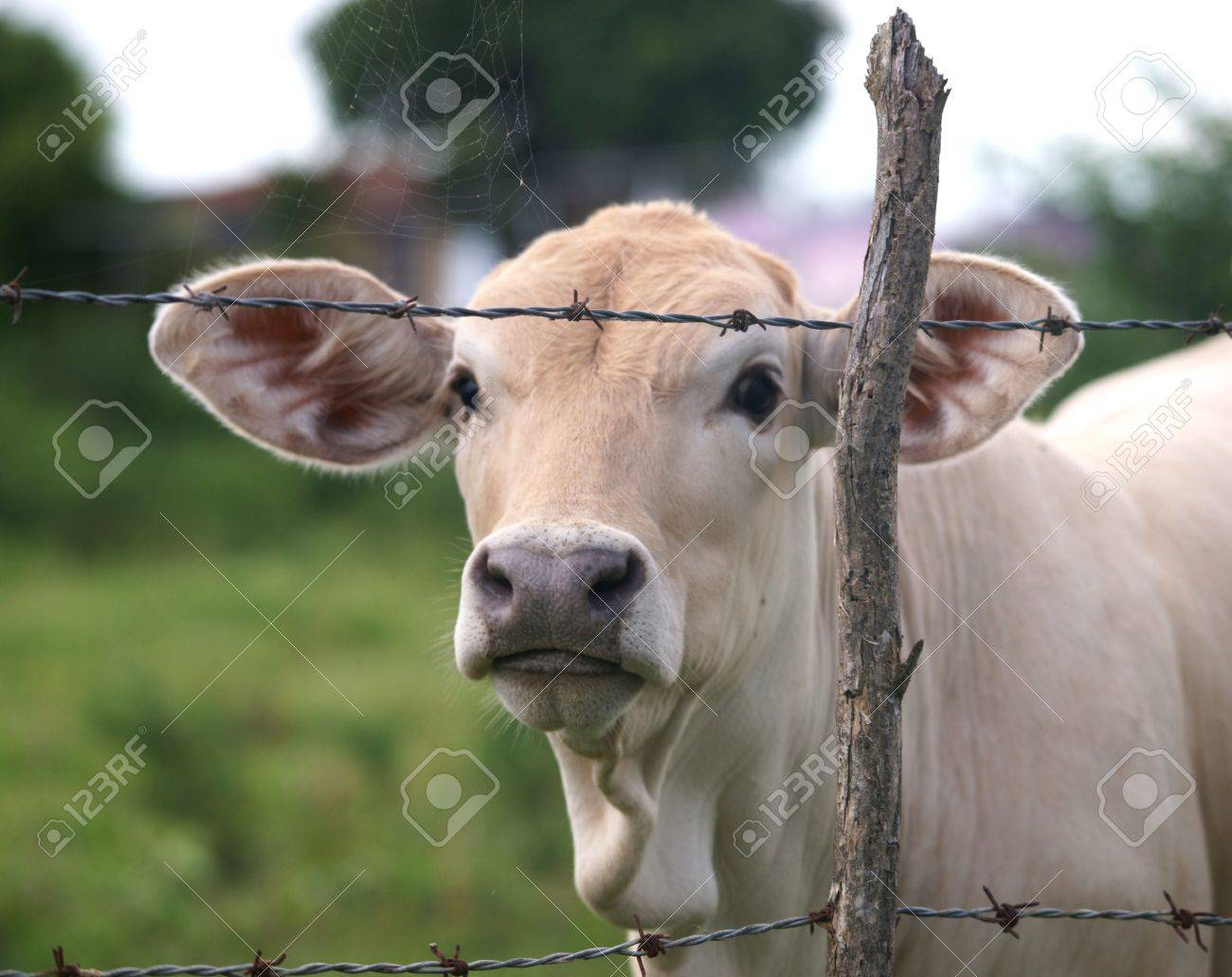 Head shot of calf on a pasture behind a fence Stock Photo - 7429512