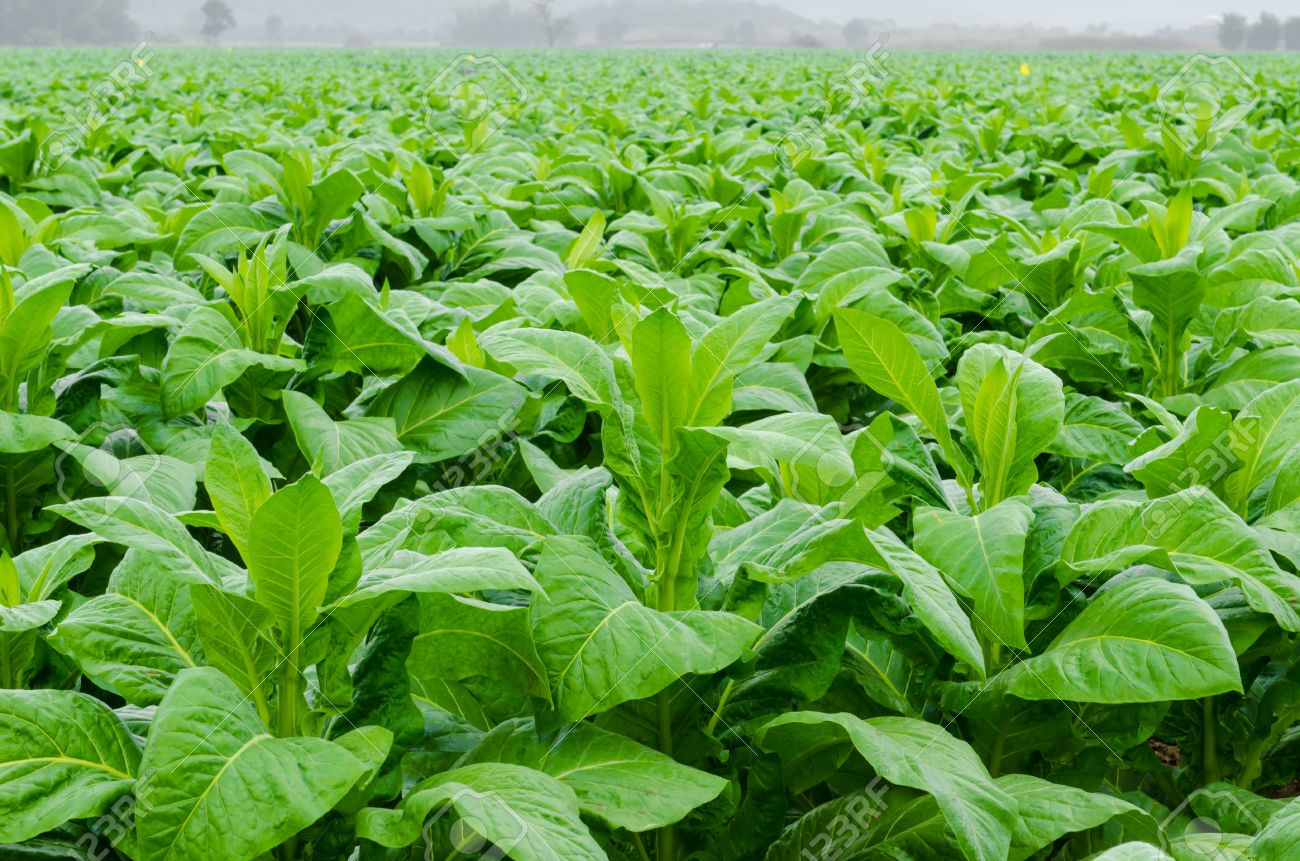 Tobacco Nicotiana tabacum Linn farm