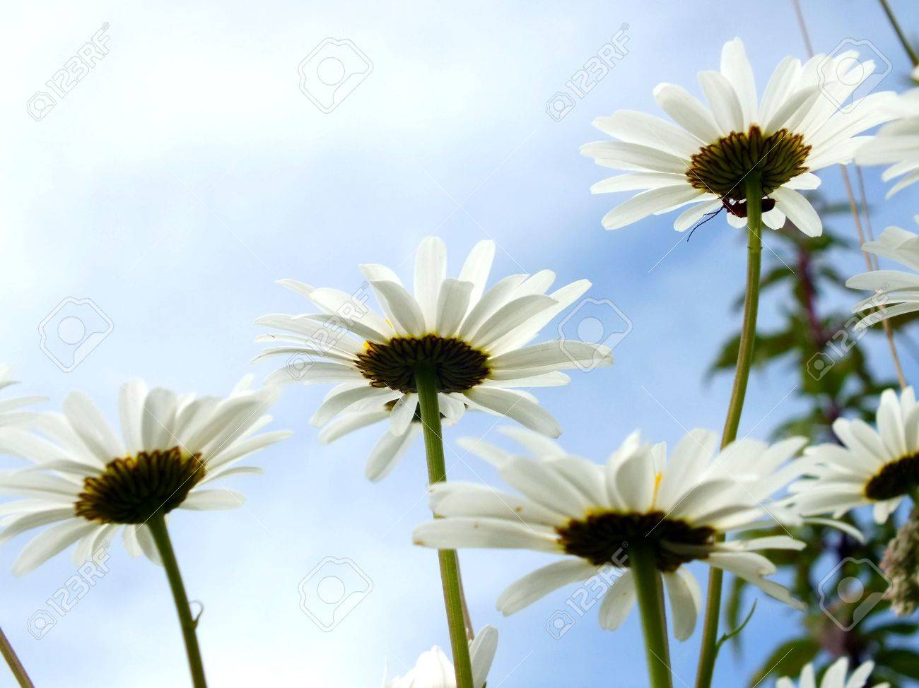 Daisy flowers dancing in the summer sunshine blue sky stock photo daisy flowers dancing in the summer sunshine blue sky stock photo 19474440 izmirmasajfo