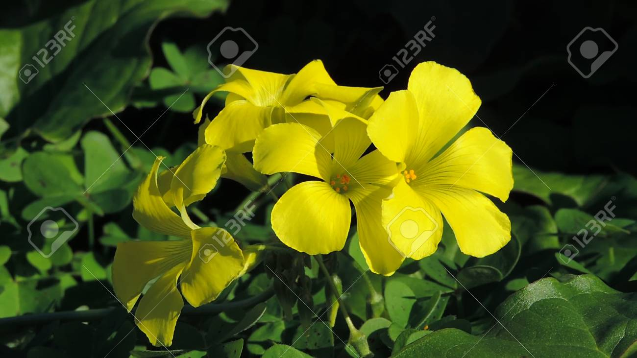 Yellow Clover Flowers With Black Background Stock Photo Picture