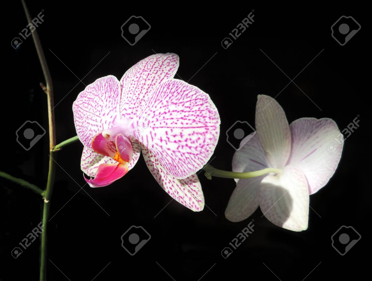 Pink Orchid Flowers Isolated On Black Stock Photo Picture And