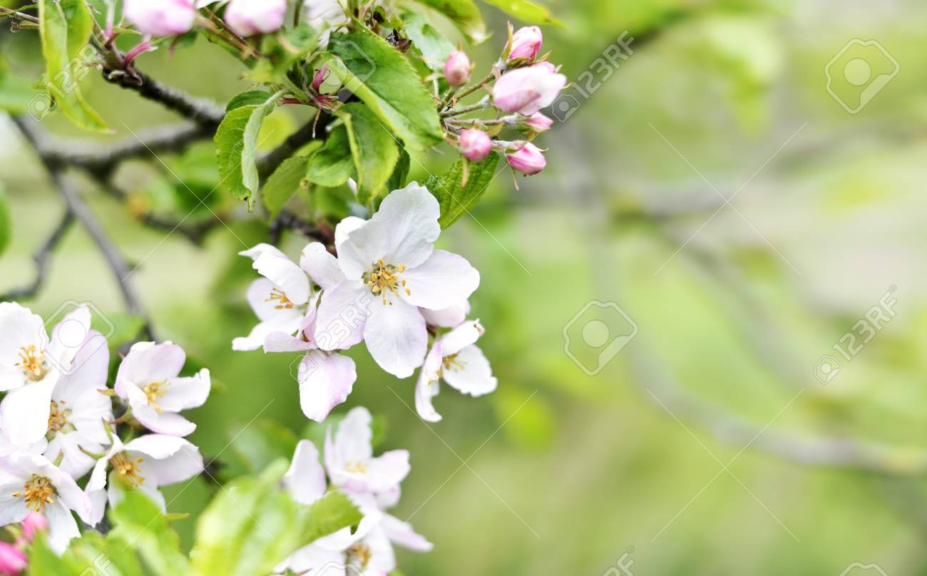 Blooming Or Blossoming Apple Tree With White And Pink Flowers
