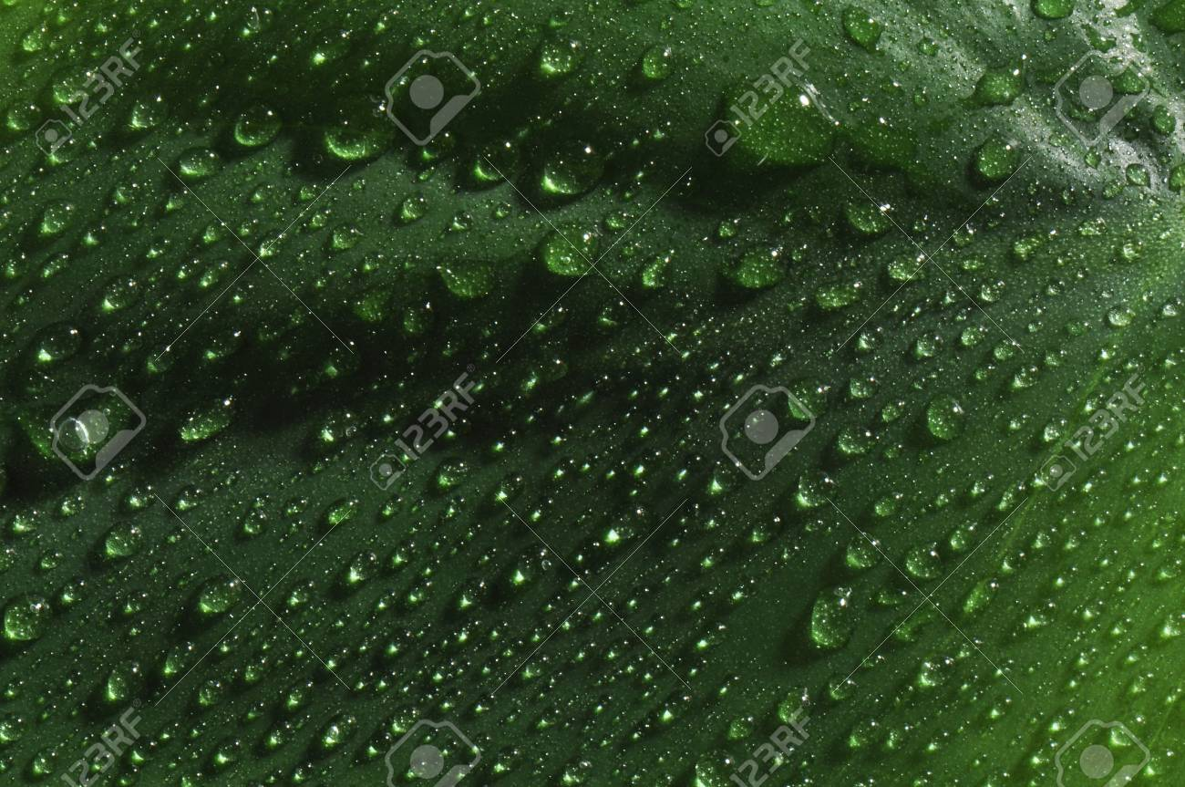 lush green leaf with large drops of dew Stock Photo - 15217493