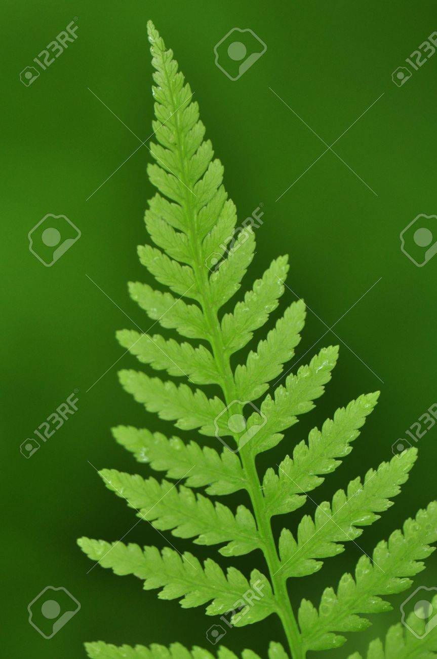 Newly unfurled spring fern leaves in Chapel Hill, North Carolina Stock Photo - 19972973