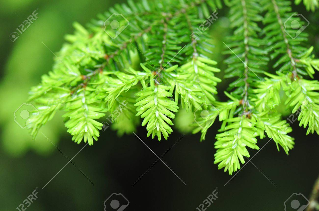 Spring Hemlock tree branch needle detail in Chapel Hill, North Carolina Stock Photo - 19969415