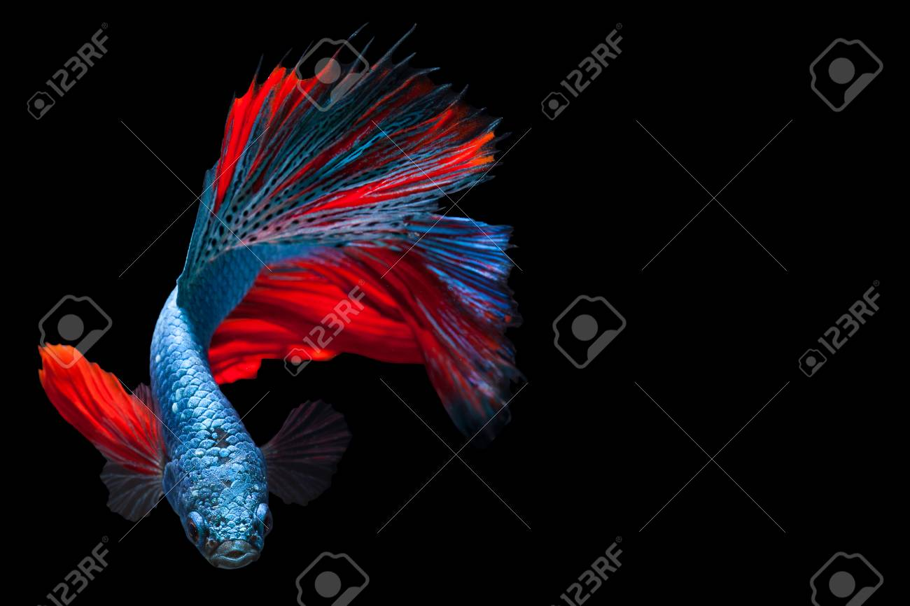 Multi Color Siamese Fighting Fish,fighting Fish,Betta Splendens,on ...