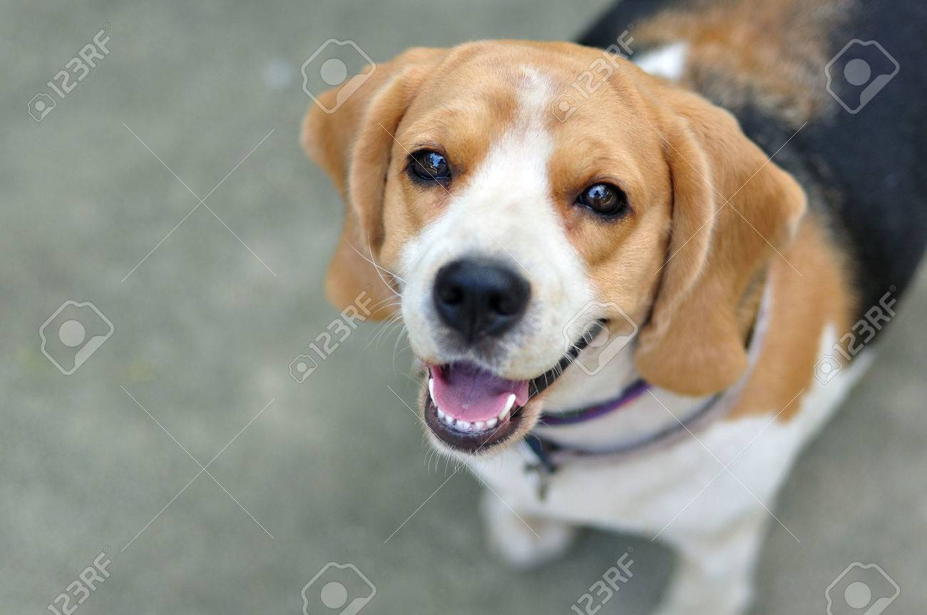 Portrait cute beagle puppy dog looking up stock photo picture and portrait cute beagle puppy dog looking up stock photo 24164964 voltagebd Image collections