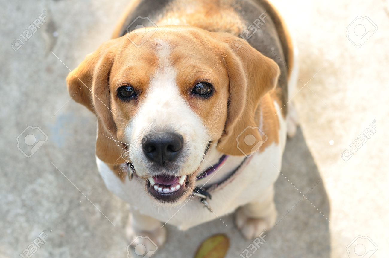 Portrait cute beagle puppy dog looking up stock photo picture and portrait cute beagle puppy dog looking up stock photo 24164965 voltagebd Image collections