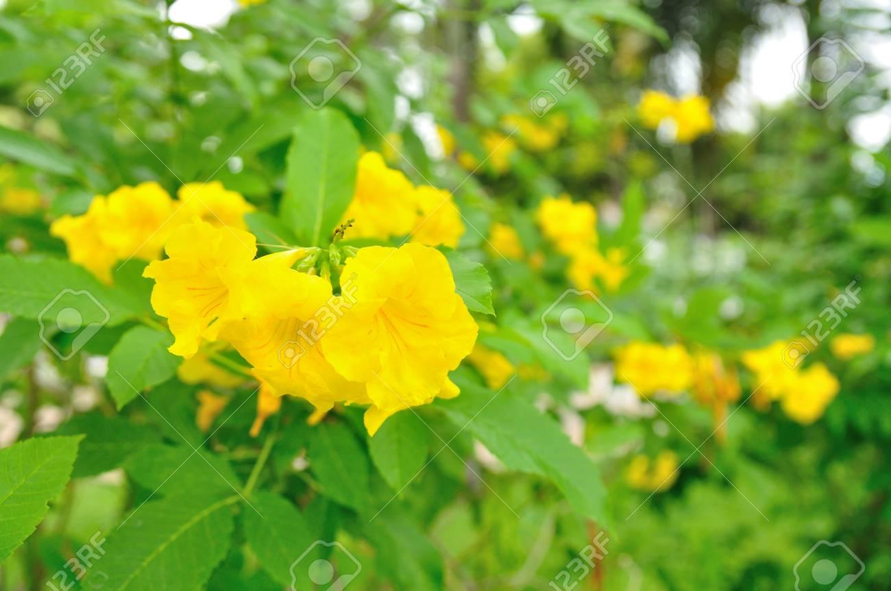 Golden trumpet vine yellow bell tree in garden stock photo golden trumpet vine yellow bell tree in garden stock photo 72980866 mightylinksfo
