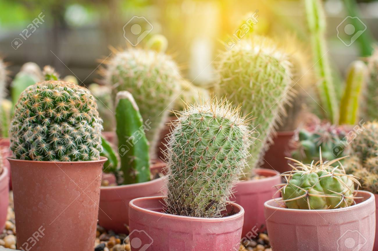 Group Of Small Cactus In Plastic Pot With Light Flare Stock Photo - Cactus-bonitos
