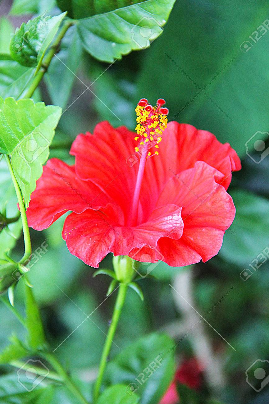 Beautiful Bright Red Flower With Long Stamens And Yellow Pollen