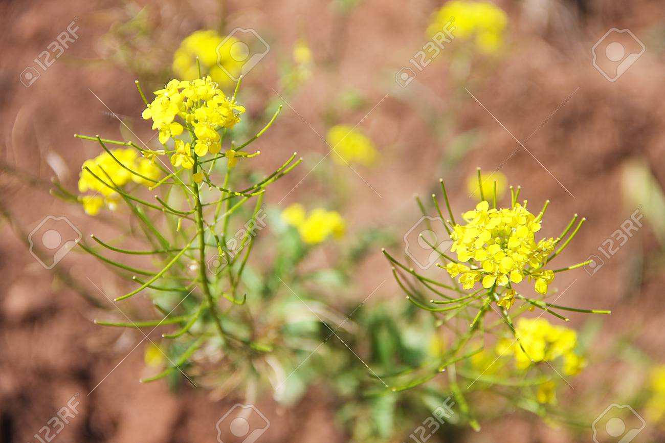 Rape A Green Bush With Small Yellow Flowers A Perennial Herb