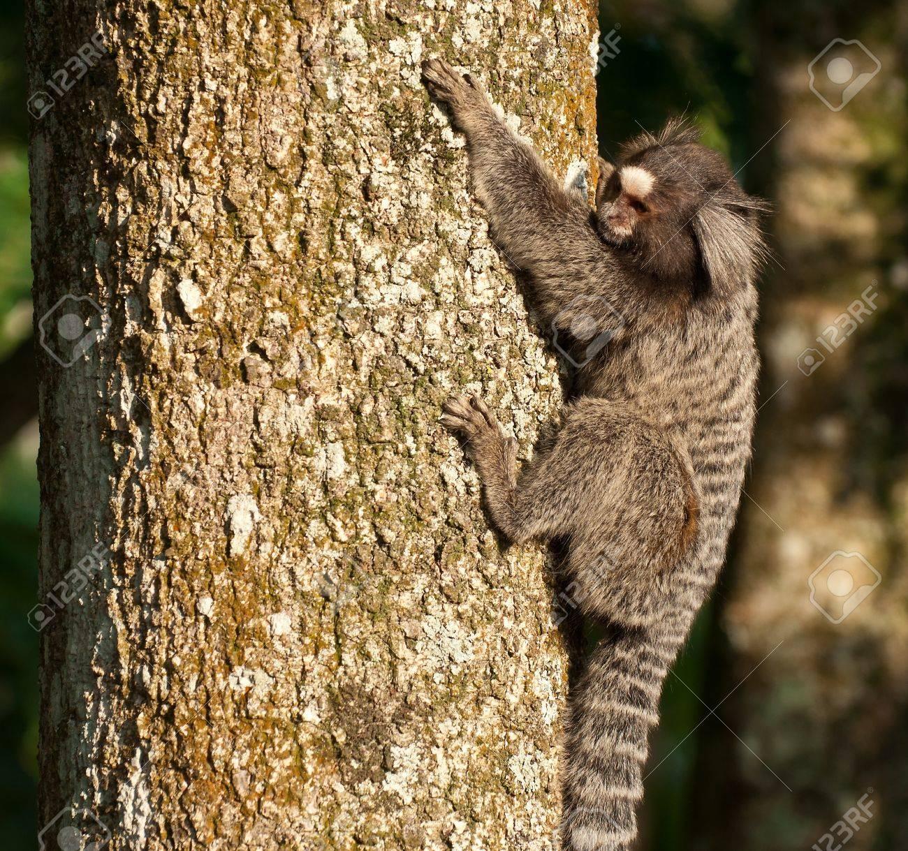 Monkey Marmoset in Rio de Janeiro  Brazil Stock Photo - 13620070