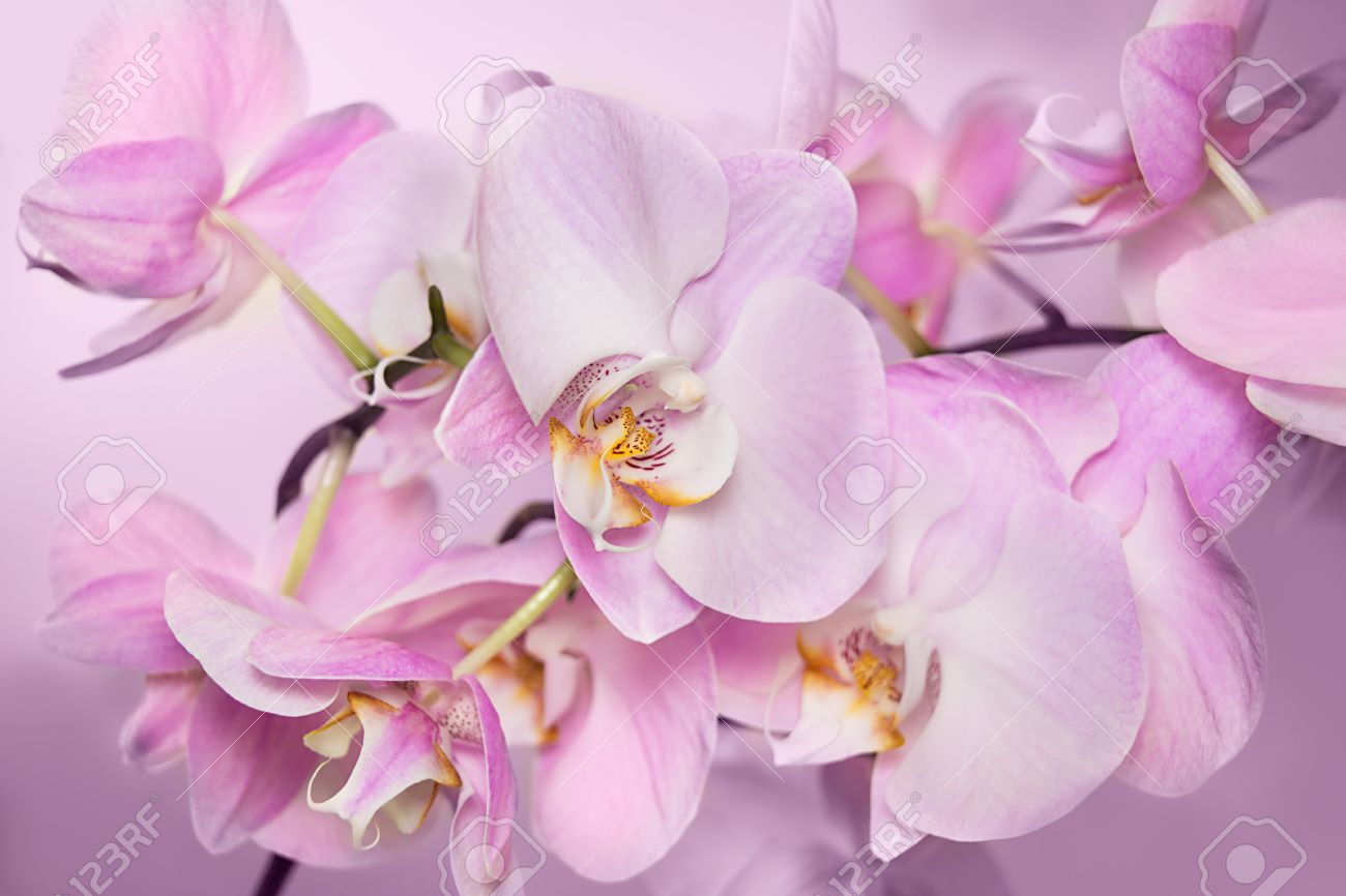orchidee rose pale