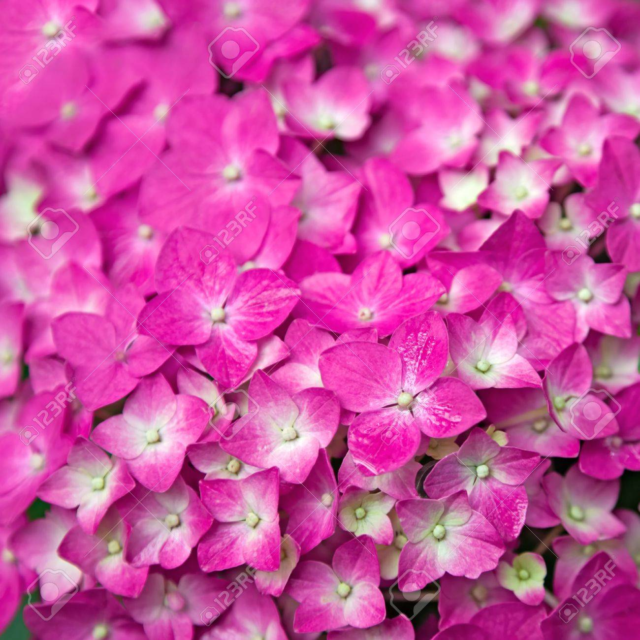 Pink hydrangea flower hydrangea common names hydrangea and pink hydrangea flower hydrangea common names hydrangea and hortensia hydrangea flowers are produced from early dhlflorist Image collections