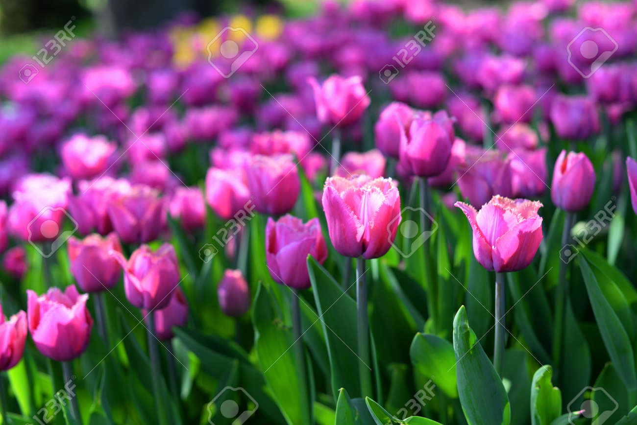 field with tulips purple colors on nature - 161212498