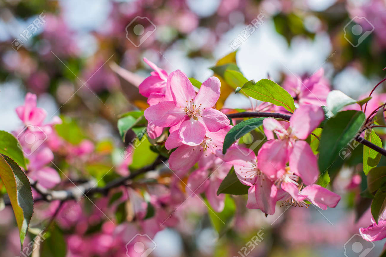 blossoming apple tree with flowers in the spring garden - 162553571