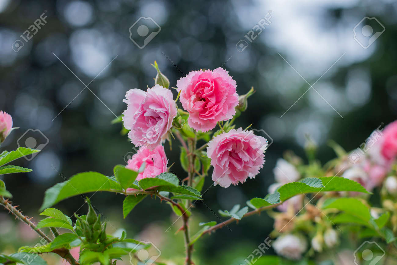 beautiful flowers roses plants in a botanical garden in nature - 162659323