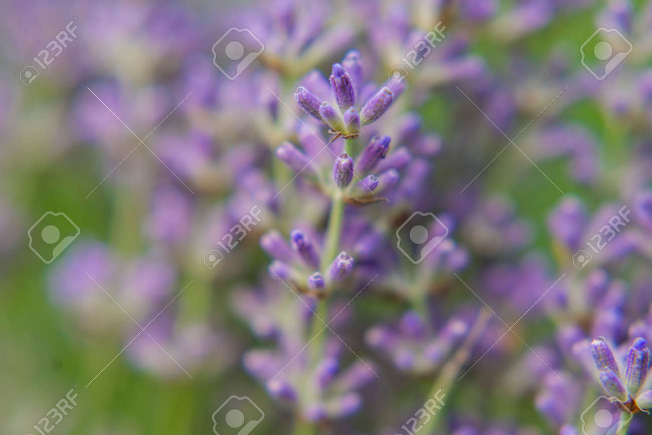 beautiful field with lavender lilac flowers - 162742111
