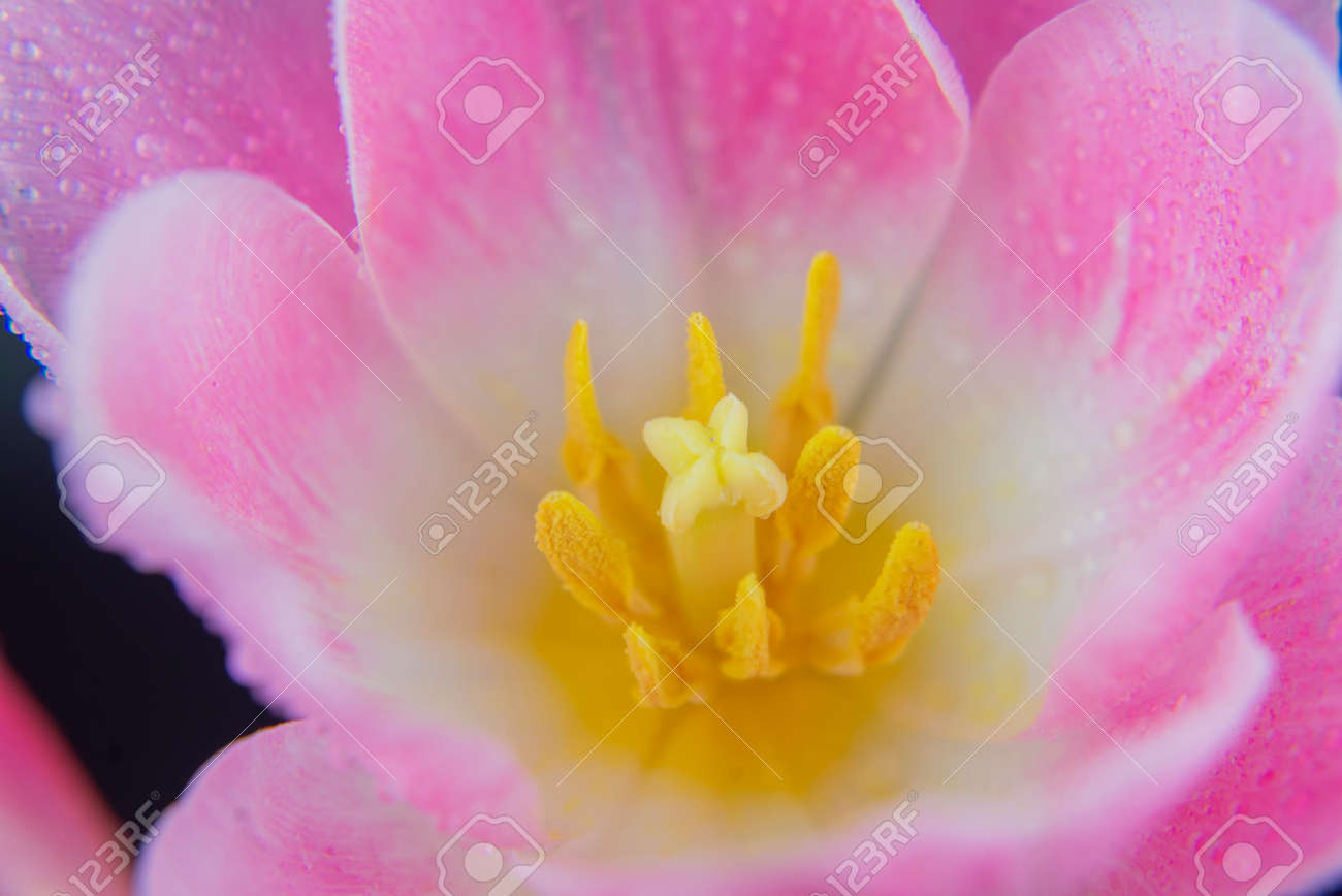 pink tulip flower macro close-up with dew drops - 162742188
