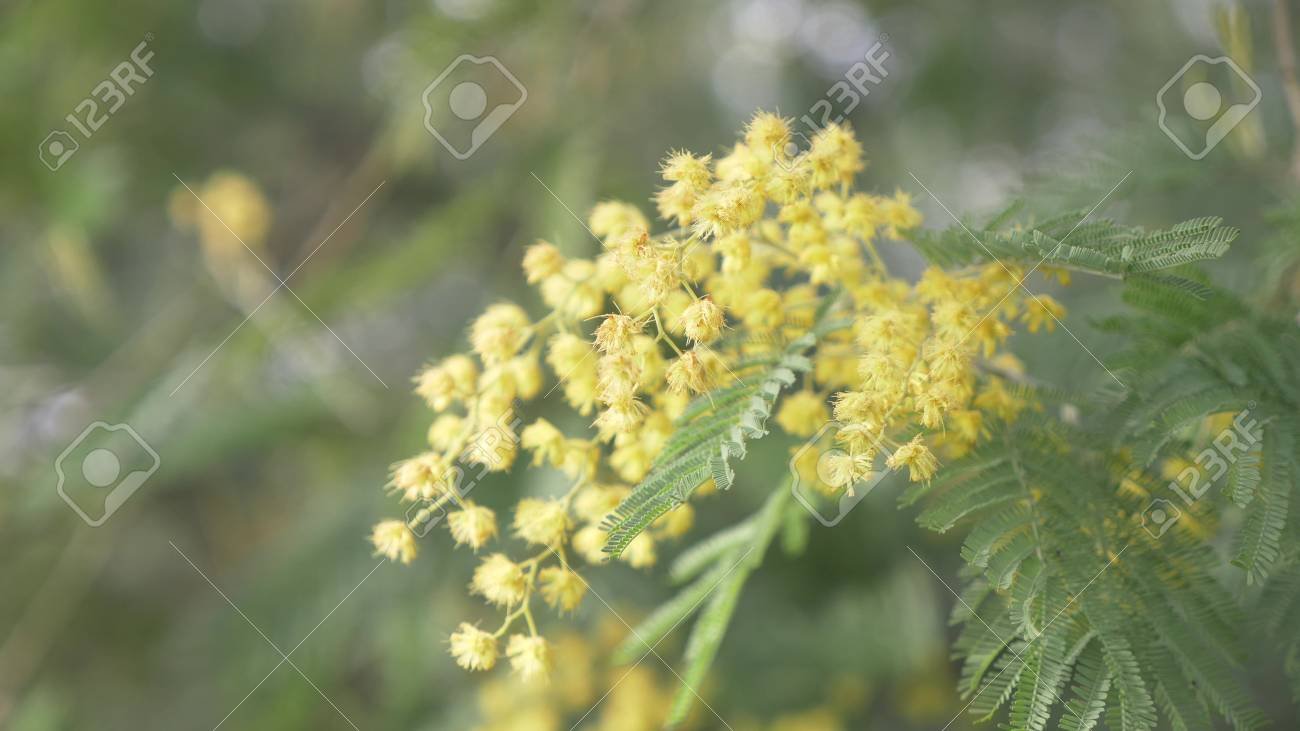 Mimosa Spring Flowers Easter Background Blooming Mimosa Tree Close