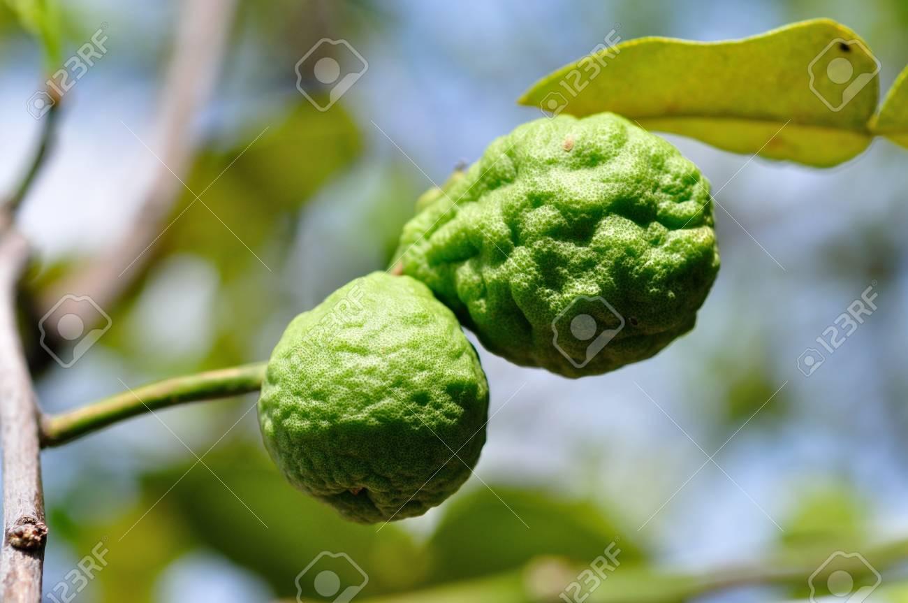 bergamot fruits Stock Photo - 14228037