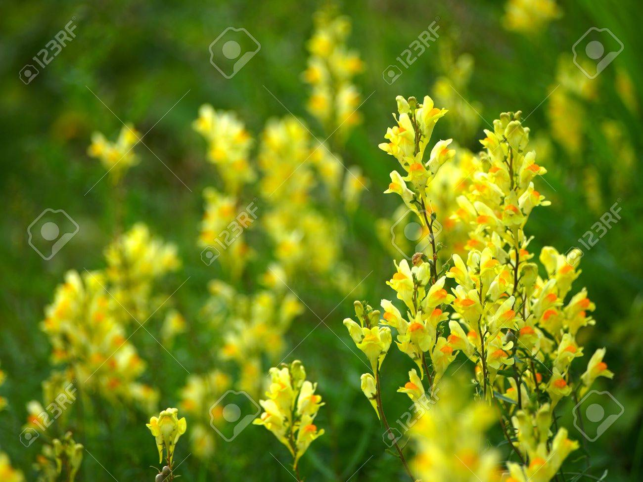 Yellow Flower Of A Weed Stock Photo Picture And Royalty Free Image