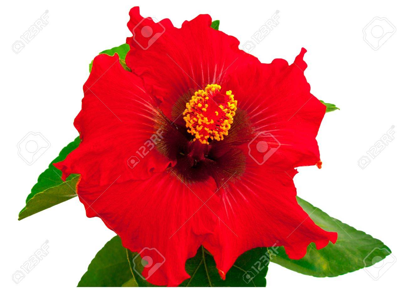 Spanish lady hibiscus flower on a white background stock photo spanish lady hibiscus flower on a white background stock photo 10385311 izmirmasajfo