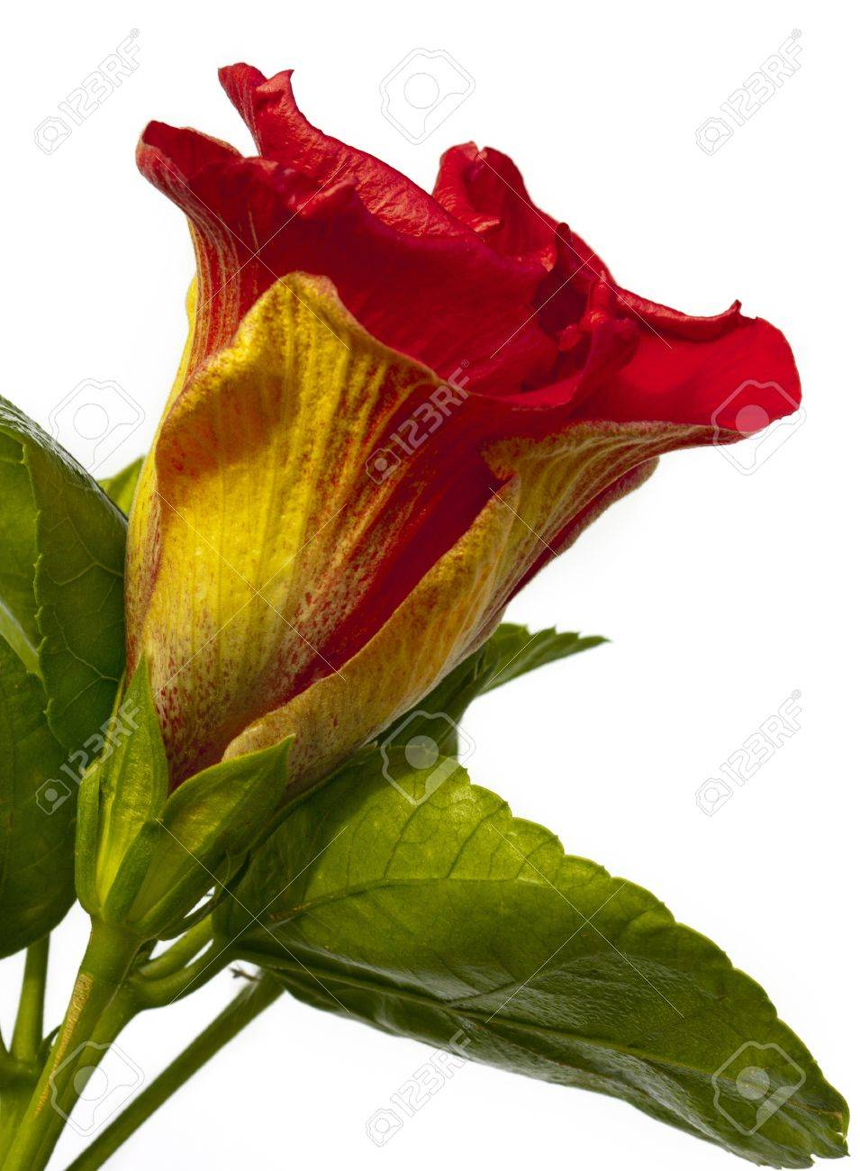 Single Hibicus Flower Spanish Lady Stock Photo Picture And Royalty