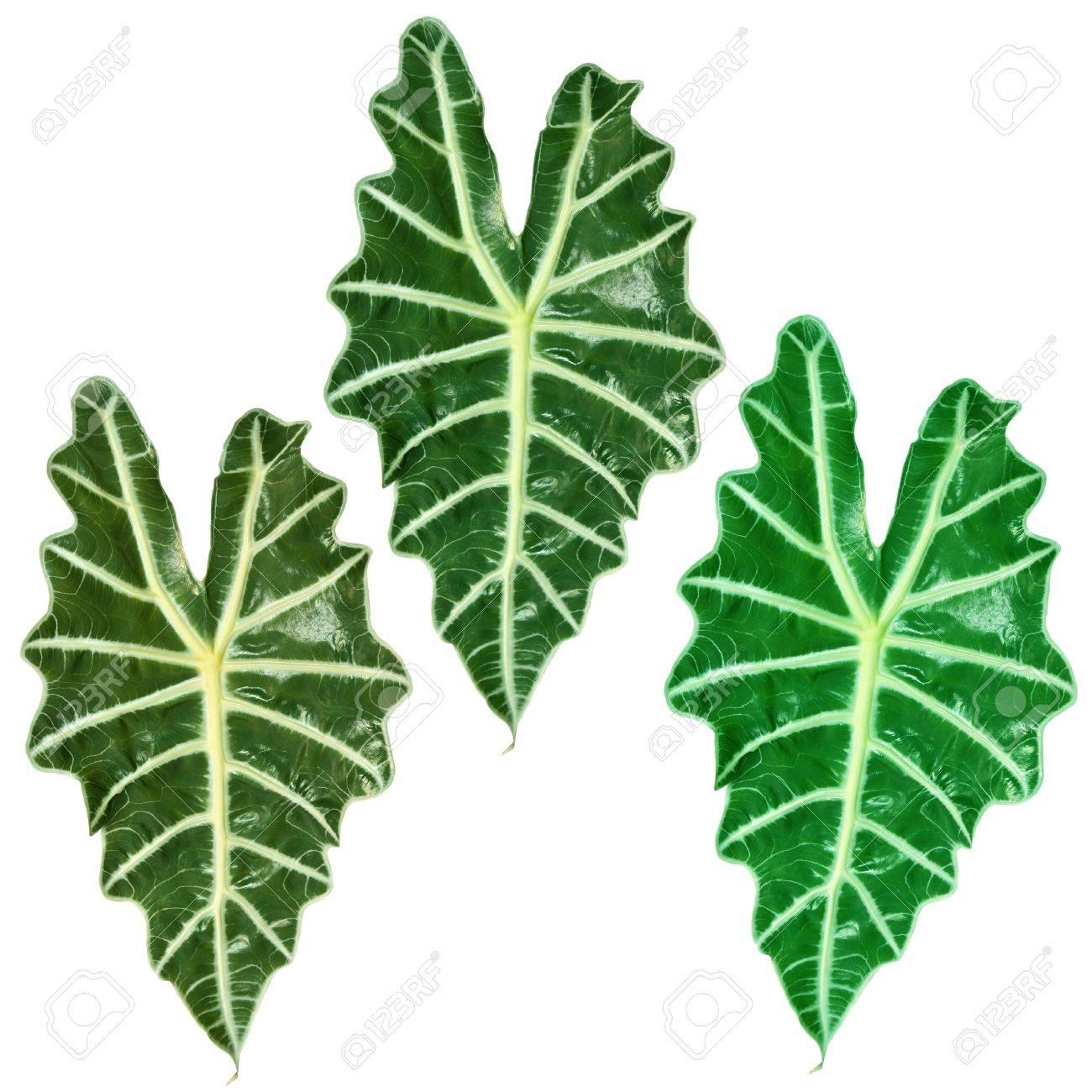 Drei Tropische Pflanzen Mit Grossen Grunen Blattern Lizenzfreie Fotos