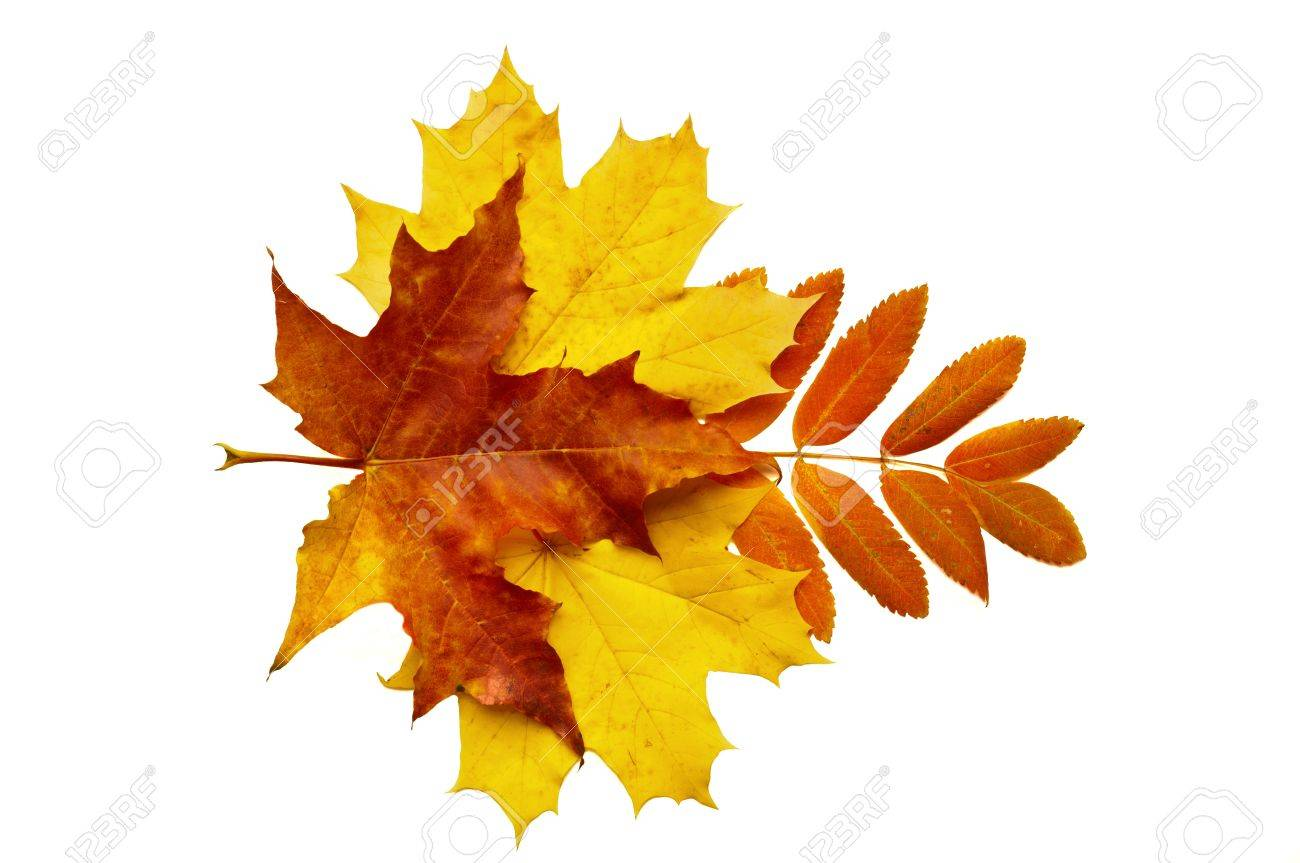 autumn leaves, photographed in the studio on a white background Stock Photo - 15579260