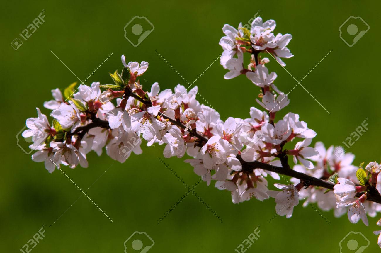 Flowers Of Nanking Cherry Prunus Tomentosa In Spring Spring Stock