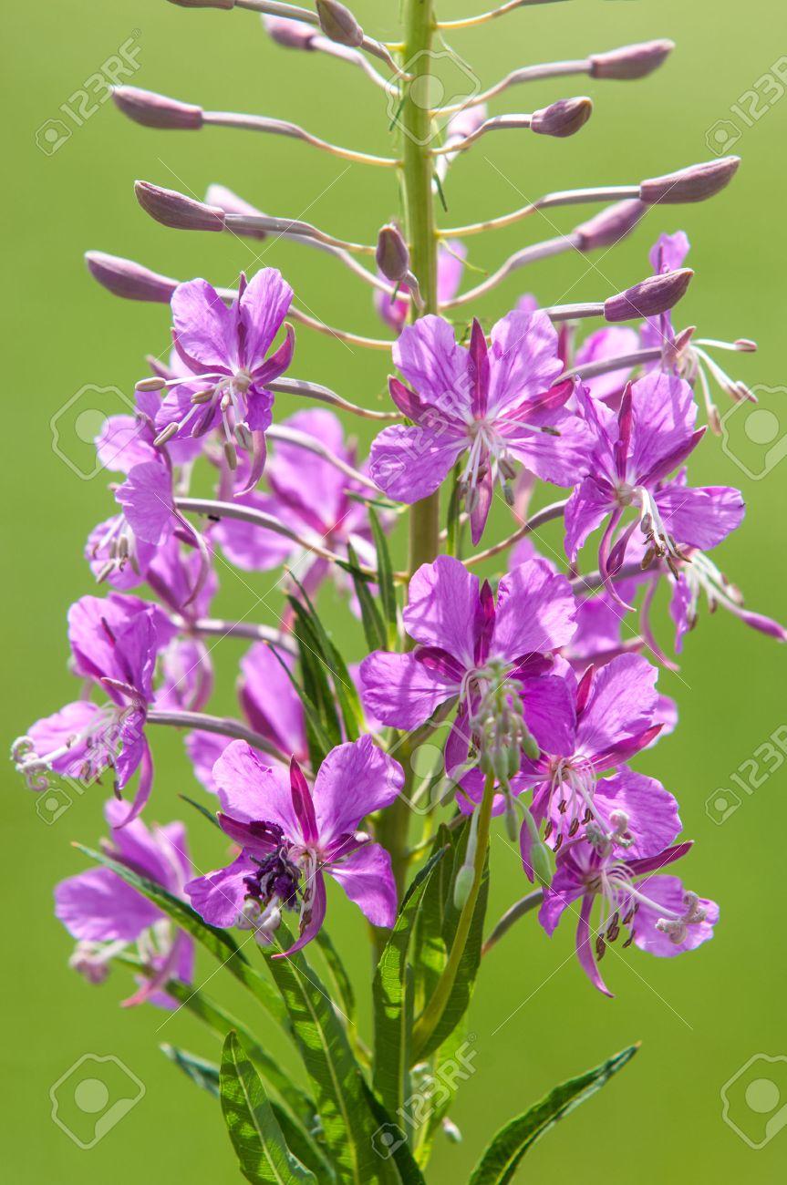 Willowherb - Epilobium Angustifolium. blooming sally (Epilobium angustifolium). Purple Alpine Fireweed. epilobium flower Stock Photo - 25069484