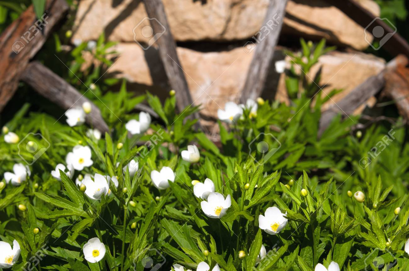 Arbuste Fleuri Feuillage Persistant herbe fleurs carpenteria. un bel arbuste. la seule espèce du genre  carpenteria. est un arbuste à feuillage persistant floraison originaire de