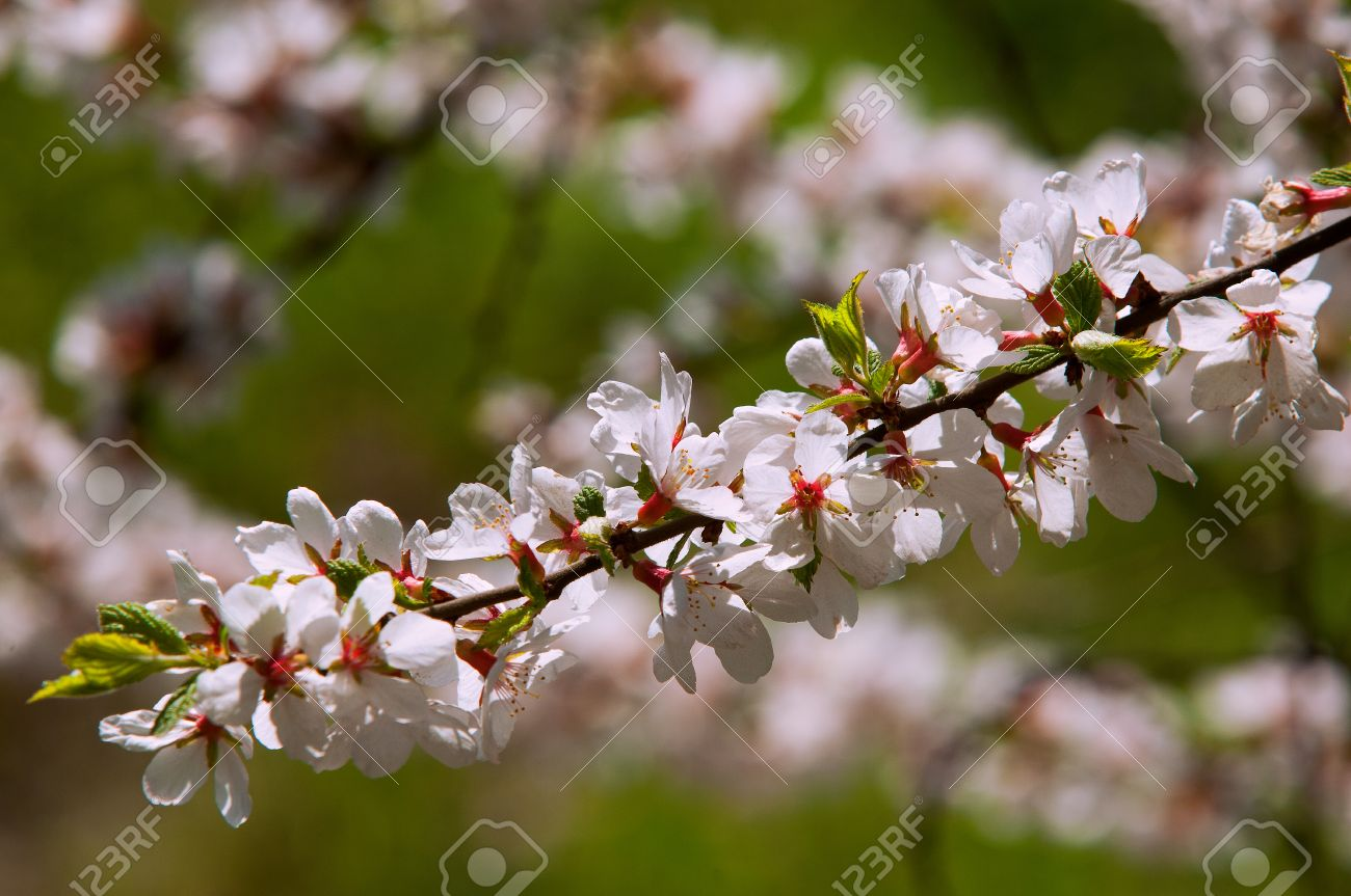 Flowers of nanking cherry prunus tomentosa in spring spring flowers of nanking cherry prunus tomentosa in spring spring flower blooming rosaceae beautiful dhlflorist Choice Image