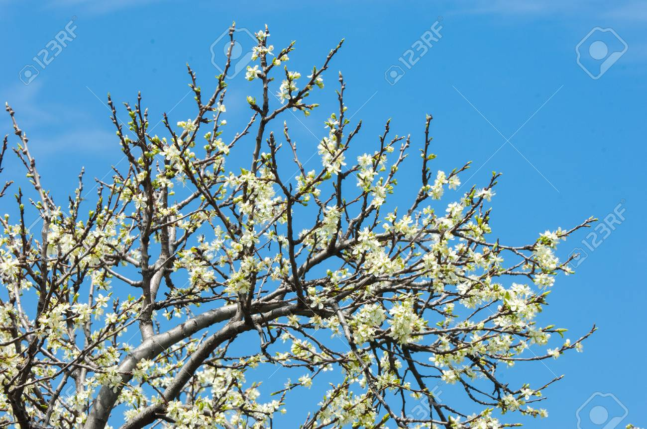 Spring Apple Trees In Blossom Flowers Of Apple White Blooms
