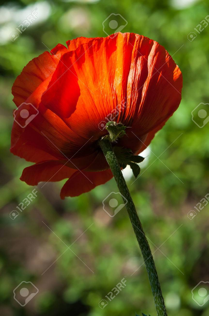 Poppy A Herbaceous Plant With Showy Flowers Milky Sap And Stock