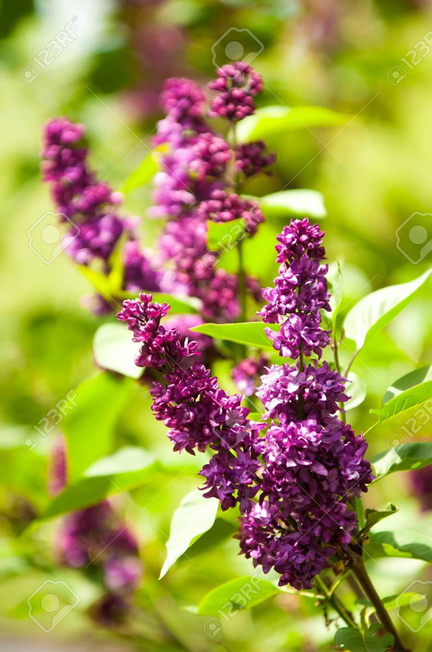 Lilac Flowers Large Garden Shrub With Purple Or White Fragrant